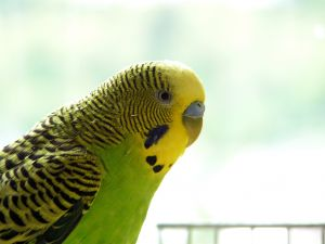 535483_green_budgie