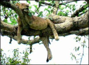 Tree Climbing Lions Ishasha, Uganda